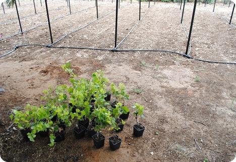 cs planting 016